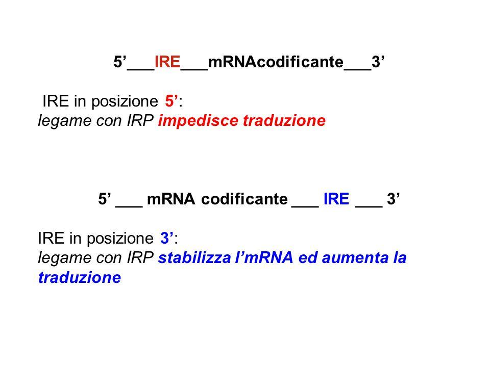 5'___IRE___mRNAcodificante___3'