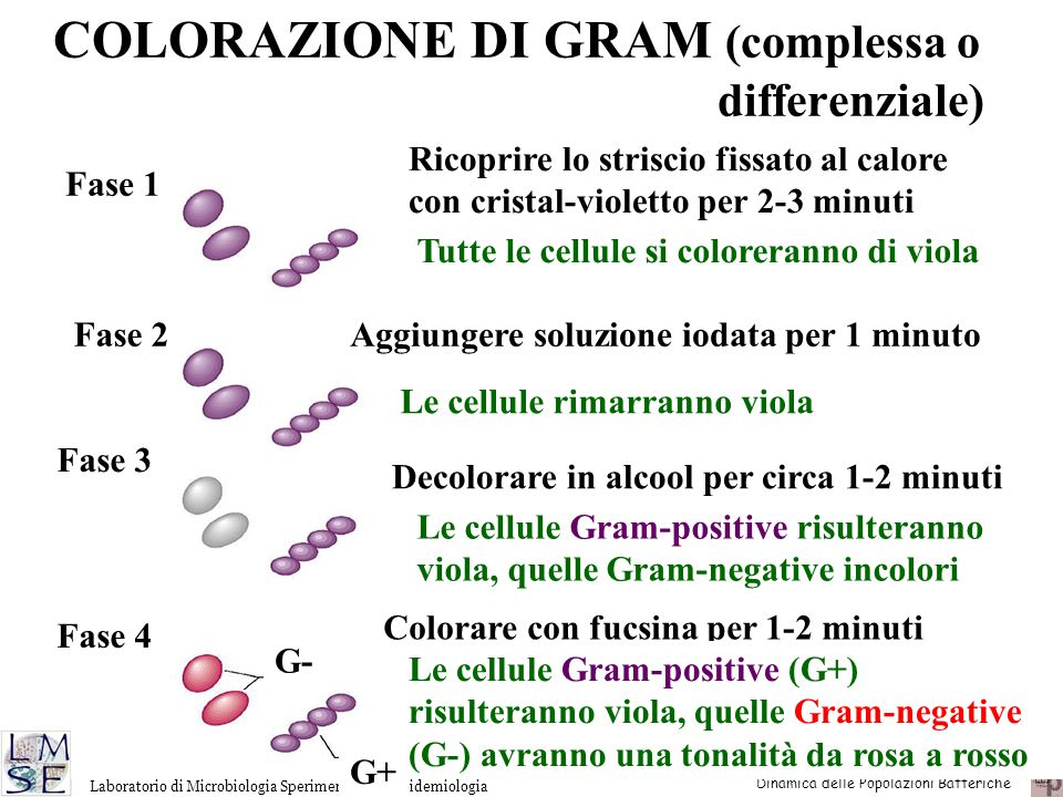 COLORAZIONE DI GRAM (complessa o differenziale)