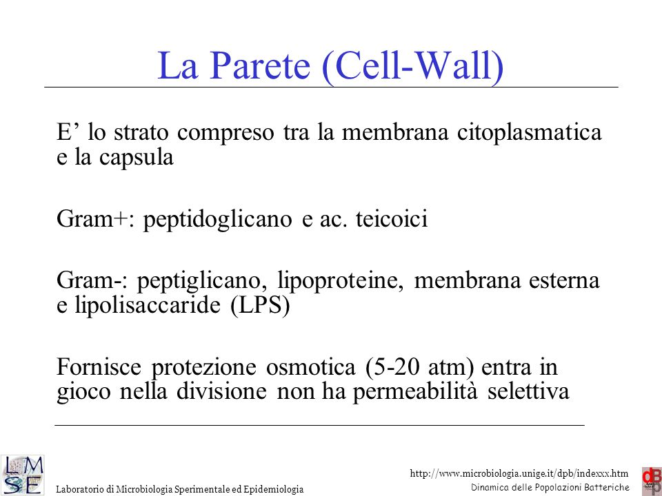 La Parete (Cell-Wall) E' lo strato compreso tra la membrana citoplasmatica e la capsula. Gram+: peptidoglicano e ac. teicoici.