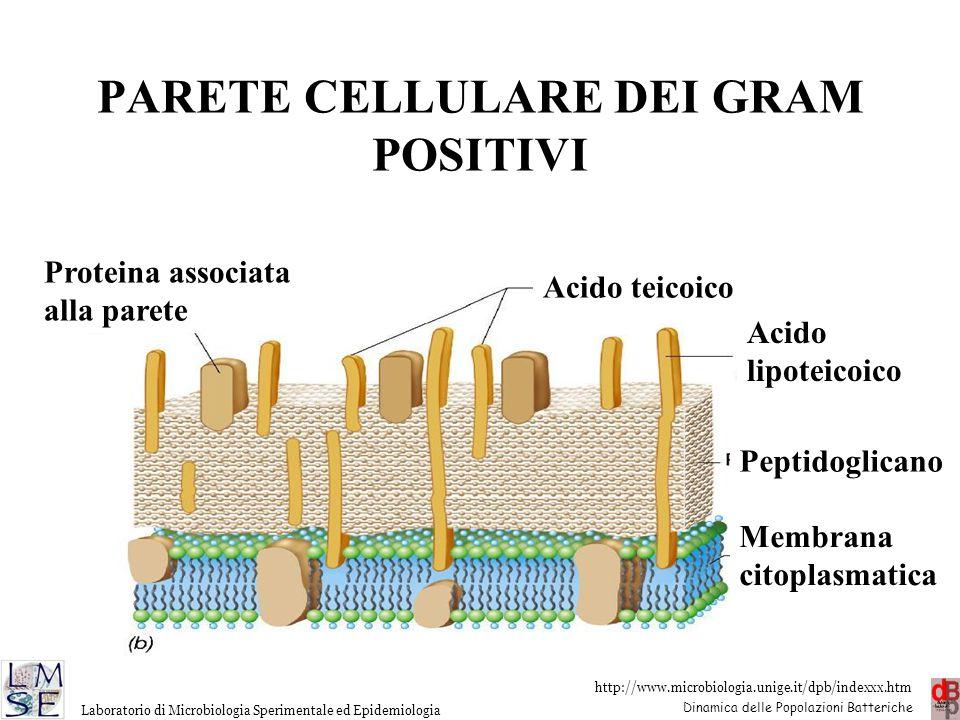 PARETE CELLULARE DEI GRAM POSITIVI