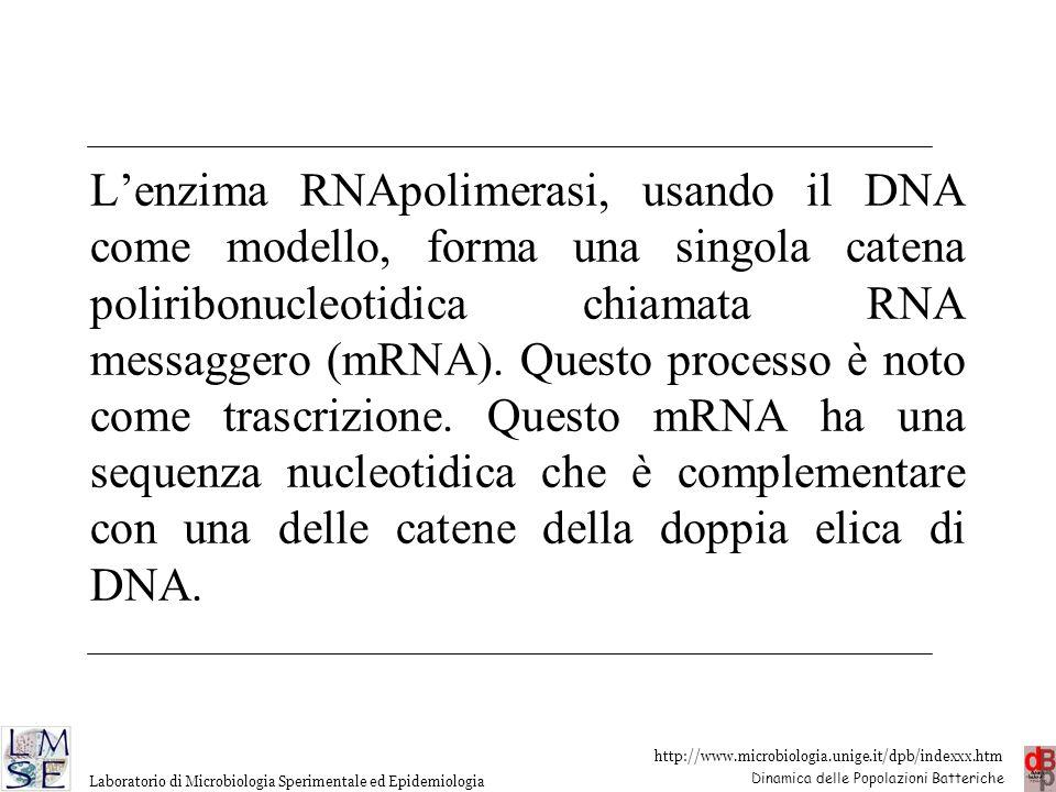 L'enzima RNApolimerasi, usando il DNA come modello, forma una singola catena poliribonucleotidica chiamata RNA messaggero (mRNA).