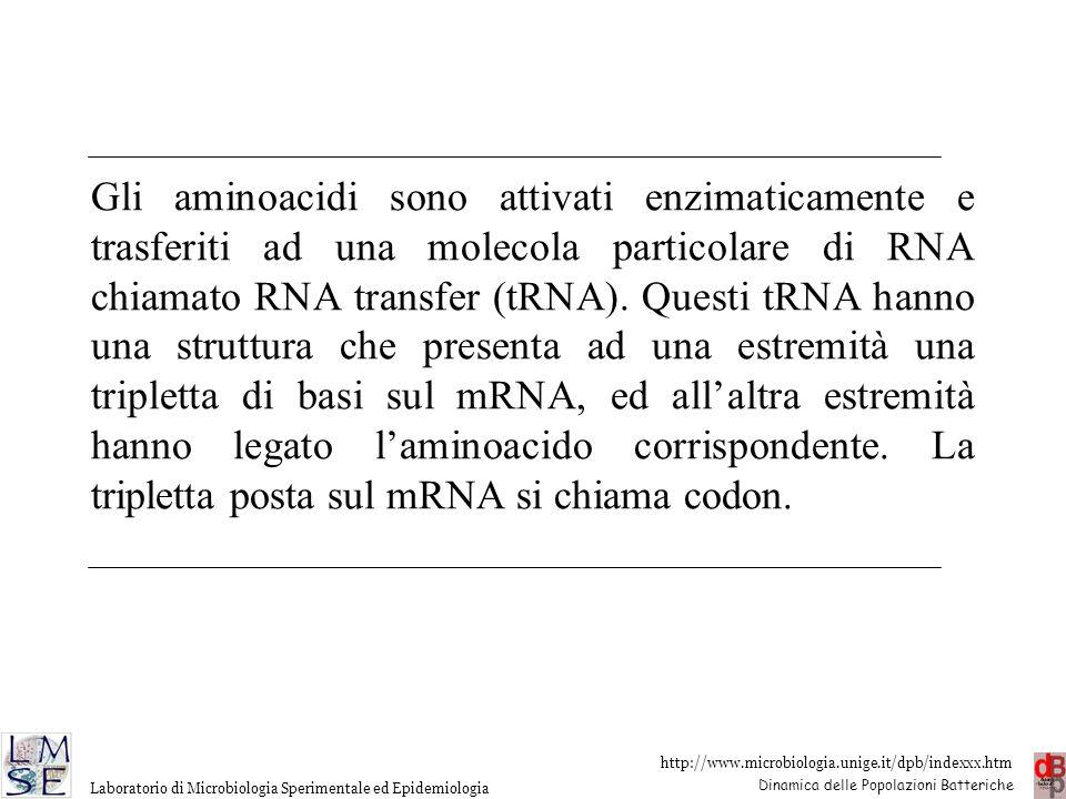 Gli aminoacidi sono attivati enzimaticamente e trasferiti ad una molecola particolare di RNA chiamato RNA transfer (tRNA).