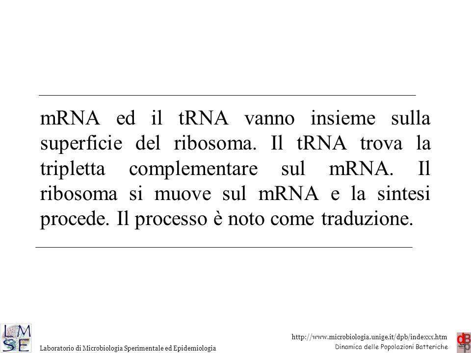 mRNA ed il tRNA vanno insieme sulla superficie del ribosoma