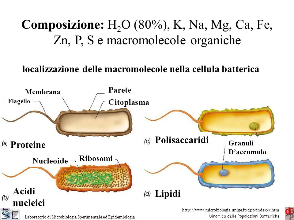 localizzazione delle macromolecole nella cellula batterica