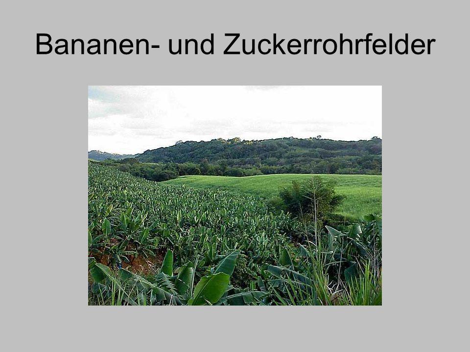 Bananen- und Zuckerrohrfelder