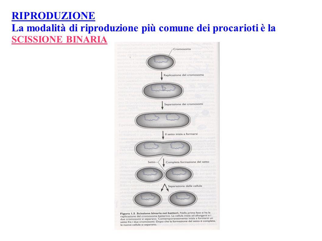 La modalità di riproduzione più comune dei procarioti è la
