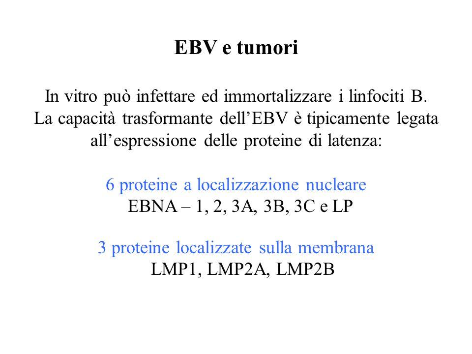 EBV e tumori In vitro può infettare ed immortalizzare i linfociti B.