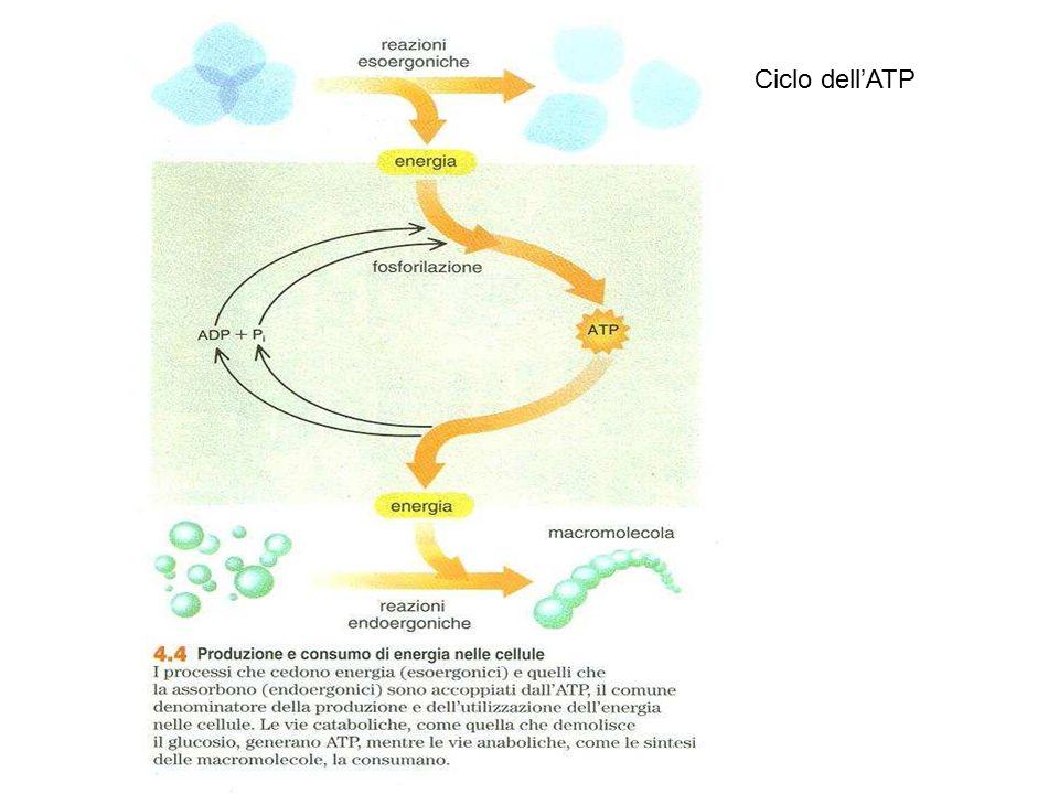 Ciclo dell'ATP