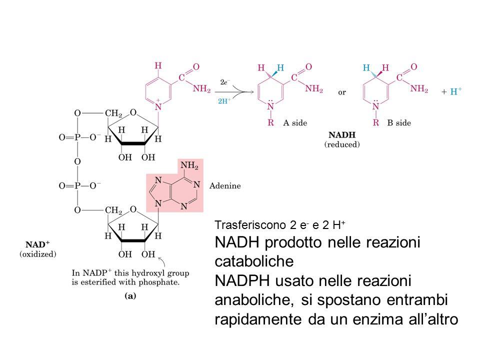 NADH prodotto nelle reazioni cataboliche