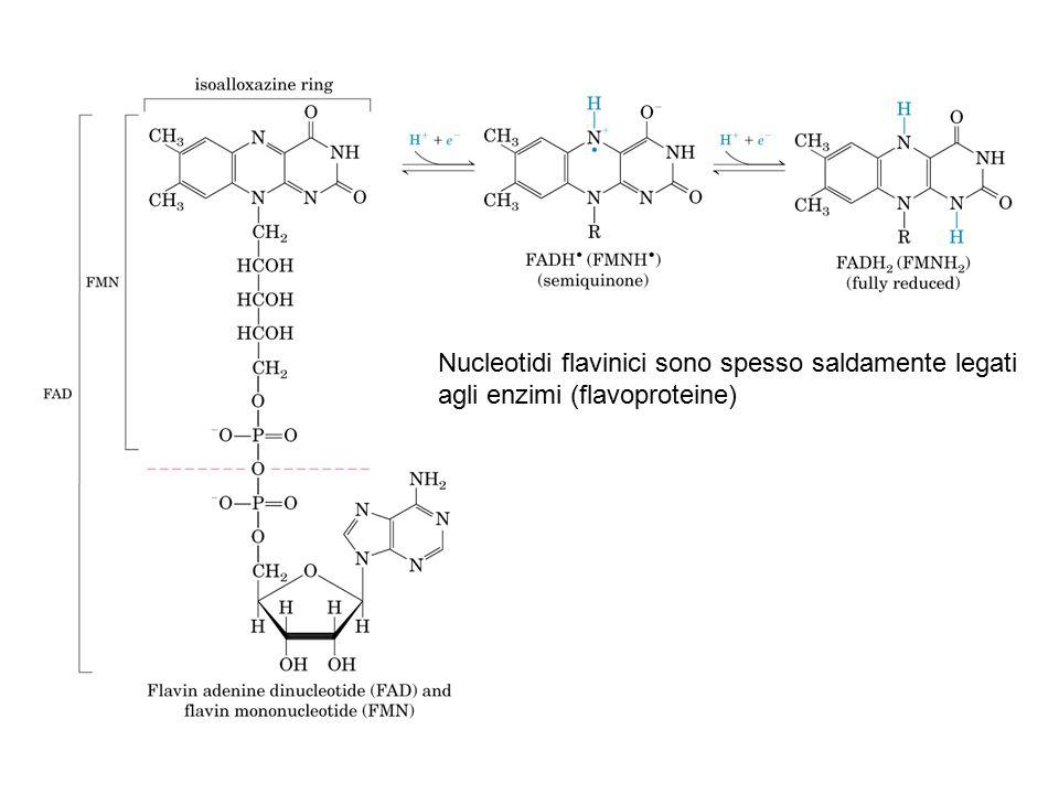 Nucleotidi flavinici sono spesso saldamente legati agli enzimi (flavoproteine)