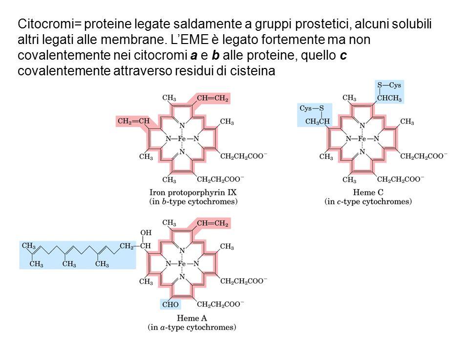 Citocromi= proteine legate saldamente a gruppi prostetici, alcuni solubili altri legati alle membrane.
