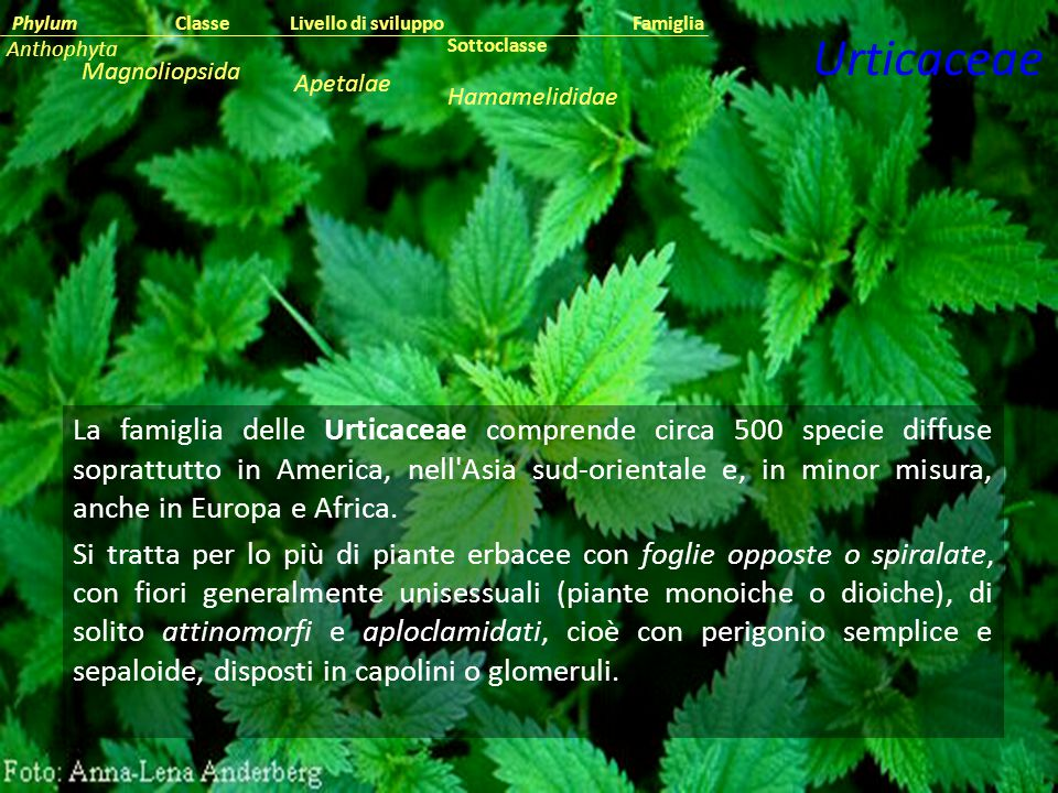 Classe Phylum. Famiglia. Livello di sviluppo. Anthophyta. Urticaceae. Sottoclasse. Magnoliopsida.