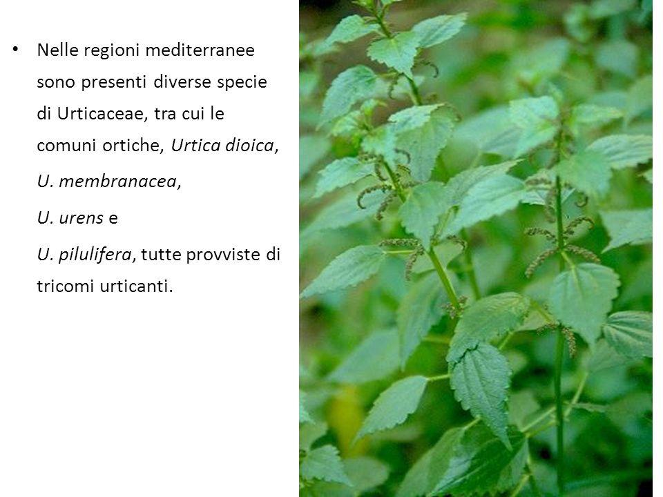 Nelle regioni mediterranee sono presenti diverse specie di Urticaceae, tra cui le comuni ortiche, Urtica dioica,