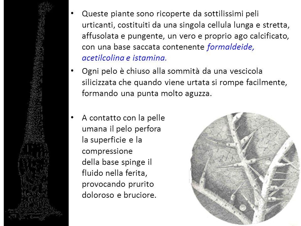 Queste piante sono ricoperte da sottilissimi peli urticanti, costituiti da una singola cellula lunga e stretta, affusolata e pungente, un vero e proprio ago calcificato, con una base saccata contenente formaldeide, acetilcolina e istamina.