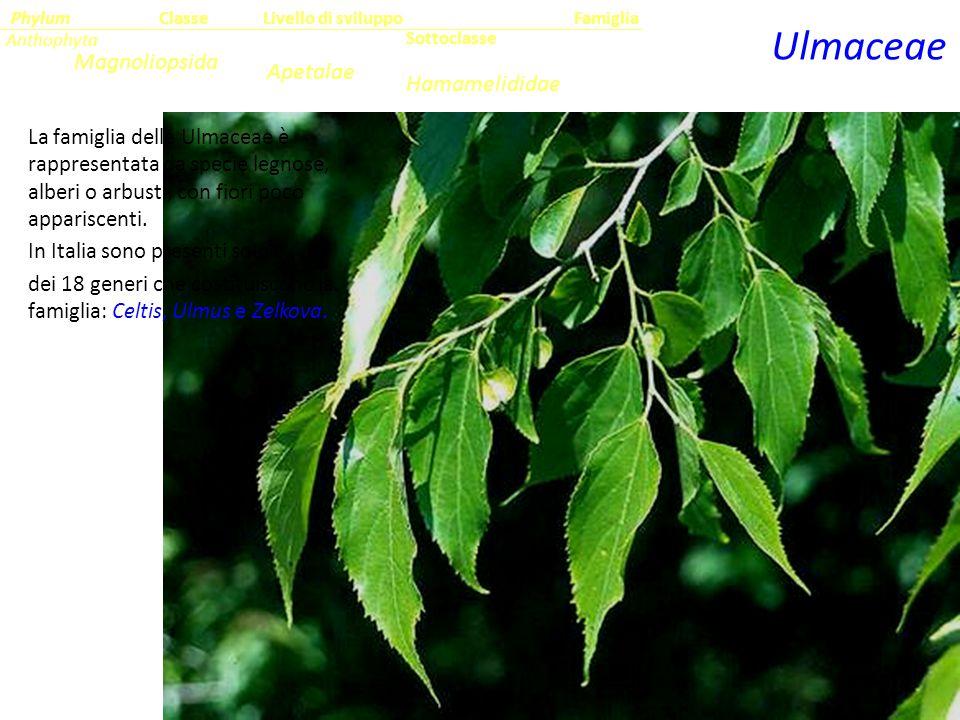 Ulmaceae Magnoliopsida Apetalae Hamamelididae