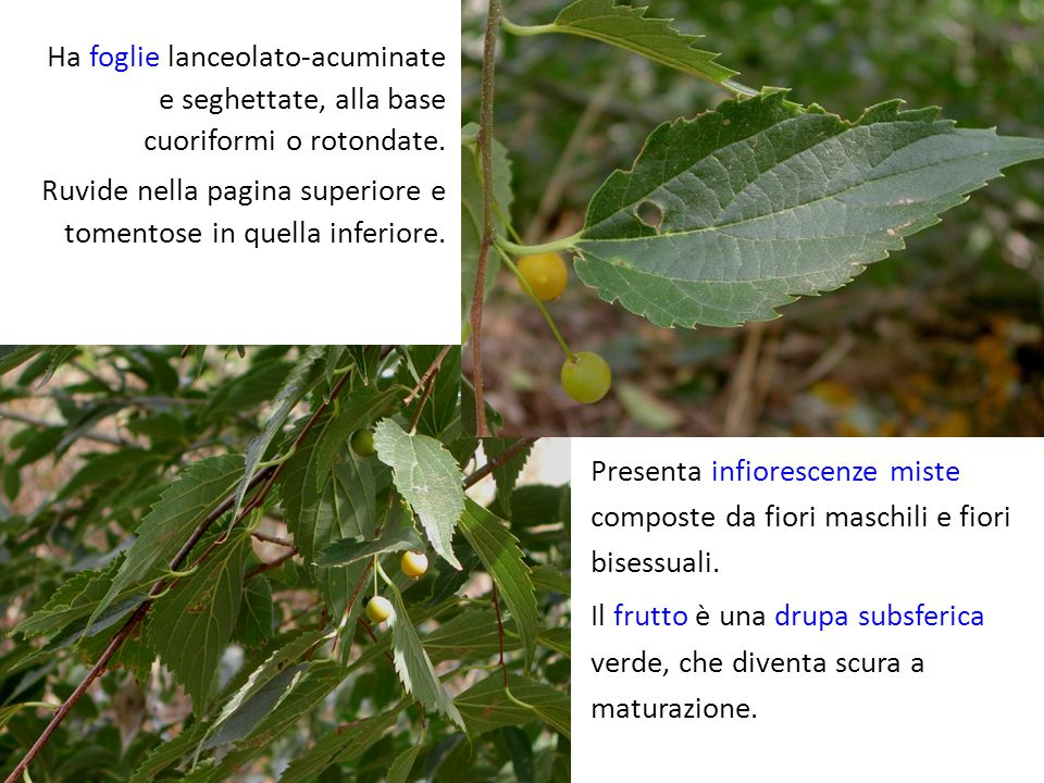 Ha foglie lanceolato-acuminate e seghettate, alla base cuoriformi o rotondate.