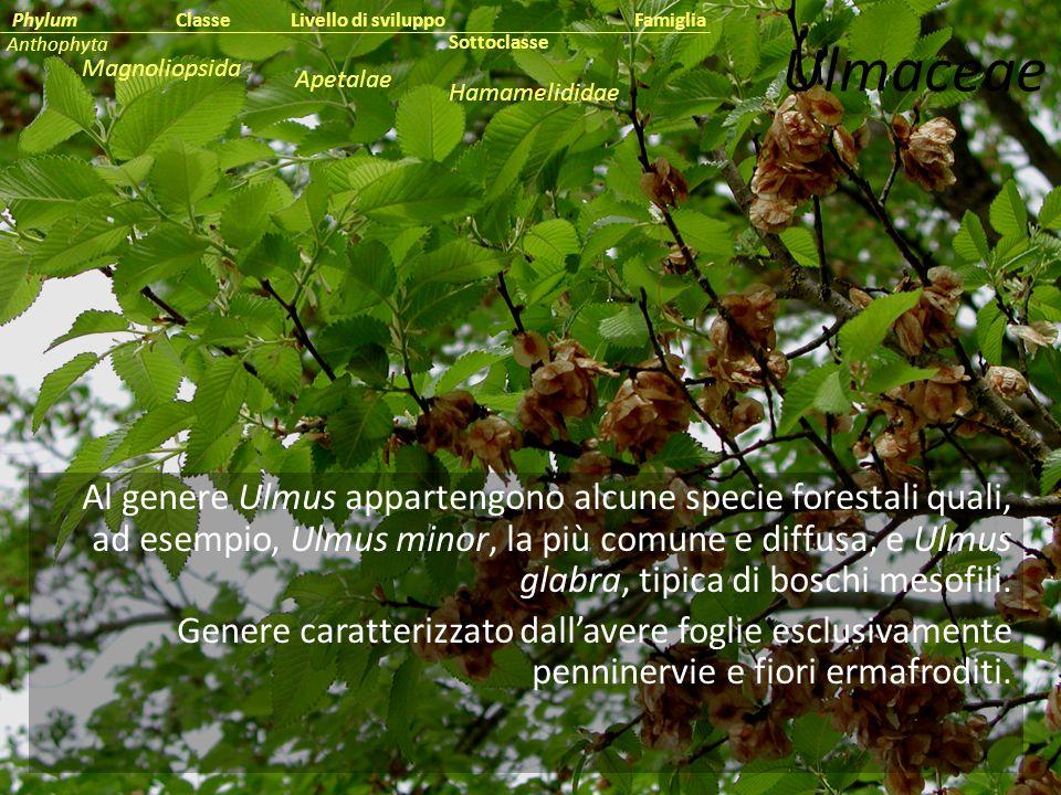 Classe Phylum. Famiglia. Livello di sviluppo. Anthophyta. Ulmaceae. Sottoclasse. Magnoliopsida.