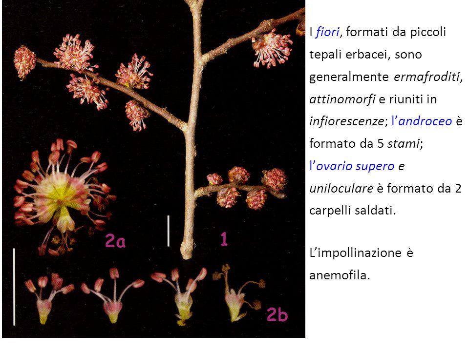 I fiori, formati da piccoli tepali erbacei, sono generalmente ermafroditi, attinomorfi e riuniti in infiorescenze; l'androceo è formato da 5 stami; l'ovario supero e uniloculare è formato da 2 carpelli saldati.