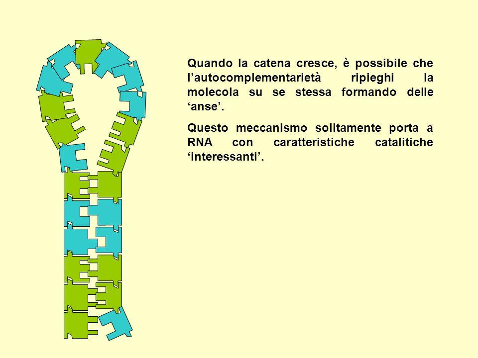 Quando la catena cresce, è possibile che l'autocomplementarietà ripieghi la molecola su se stessa formando delle 'anse'.