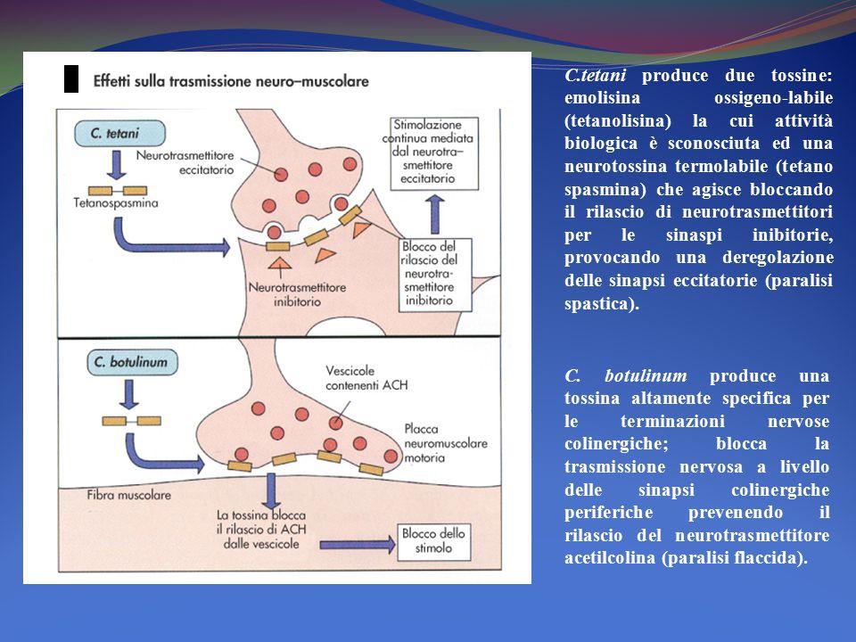 C.tetani produce due tossine: emolisina ossigeno-labile (tetanolisina) la cui attività biologica è sconosciuta ed una neurotossina termolabile (tetano spasmina) che agisce bloccando il rilascio di neurotrasmettitori per le sinaspi inibitorie, provocando una deregolazione delle sinapsi eccitatorie (paralisi spastica).