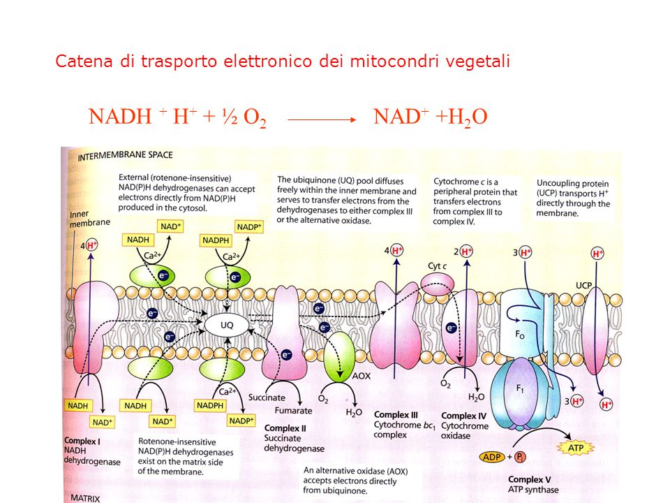 Catena di trasporto elettronico dei mitocondri vegetali