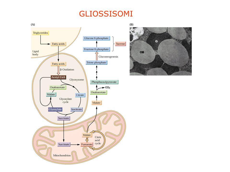 GLIOSSISOMI