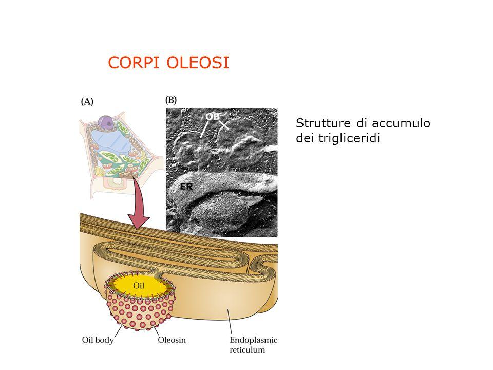 CORPI OLEOSI Strutture di accumulo dei trigliceridi