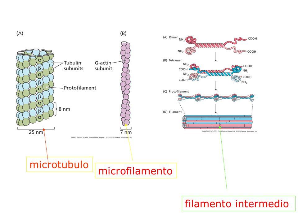 microtubulo microfilamento filamento intermedio