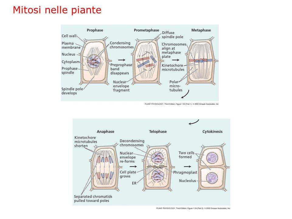 Mitosi nelle piante