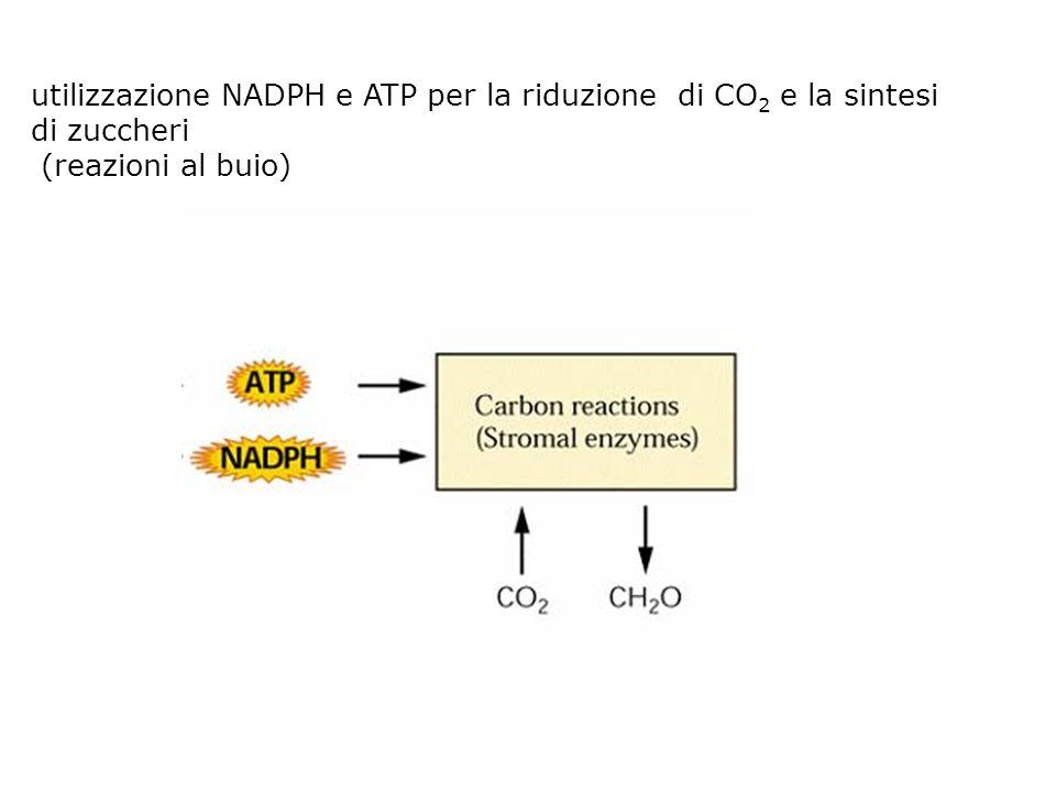 utilizzazione NADPH e ATP per la riduzione di CO2 e la sintesi di zuccheri