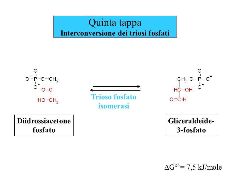 Quinta tappa Interconversione dei triosi fosfati