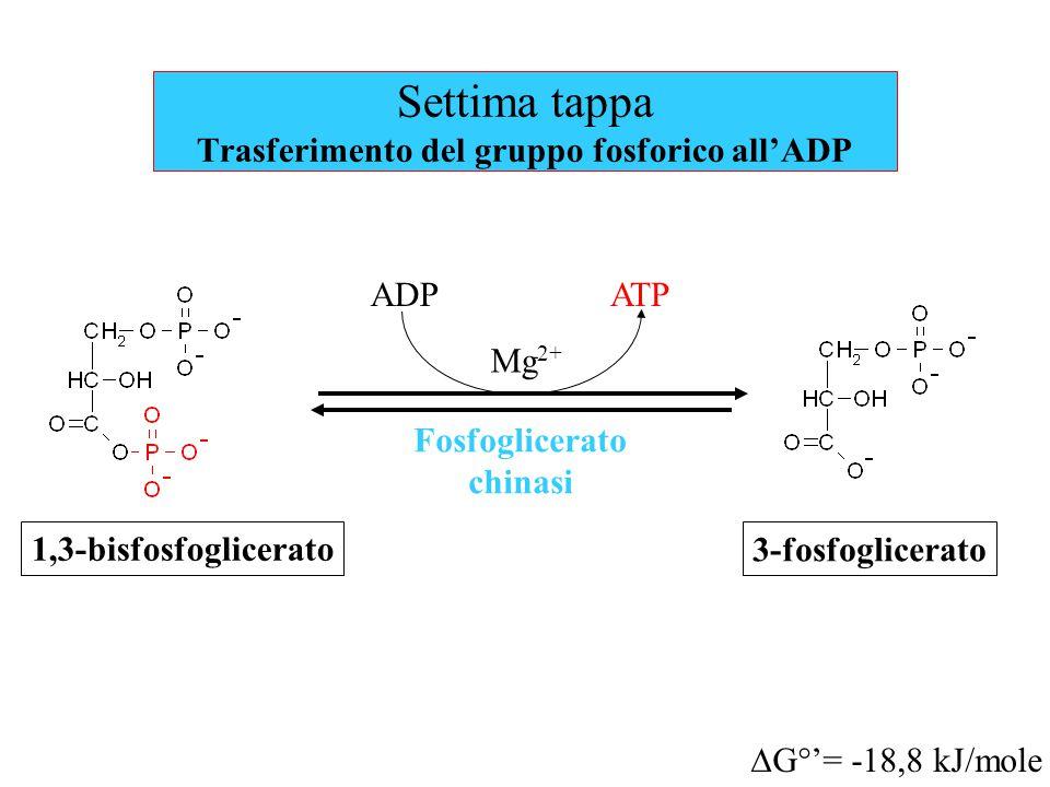 Settima tappa Trasferimento del gruppo fosforico all'ADP