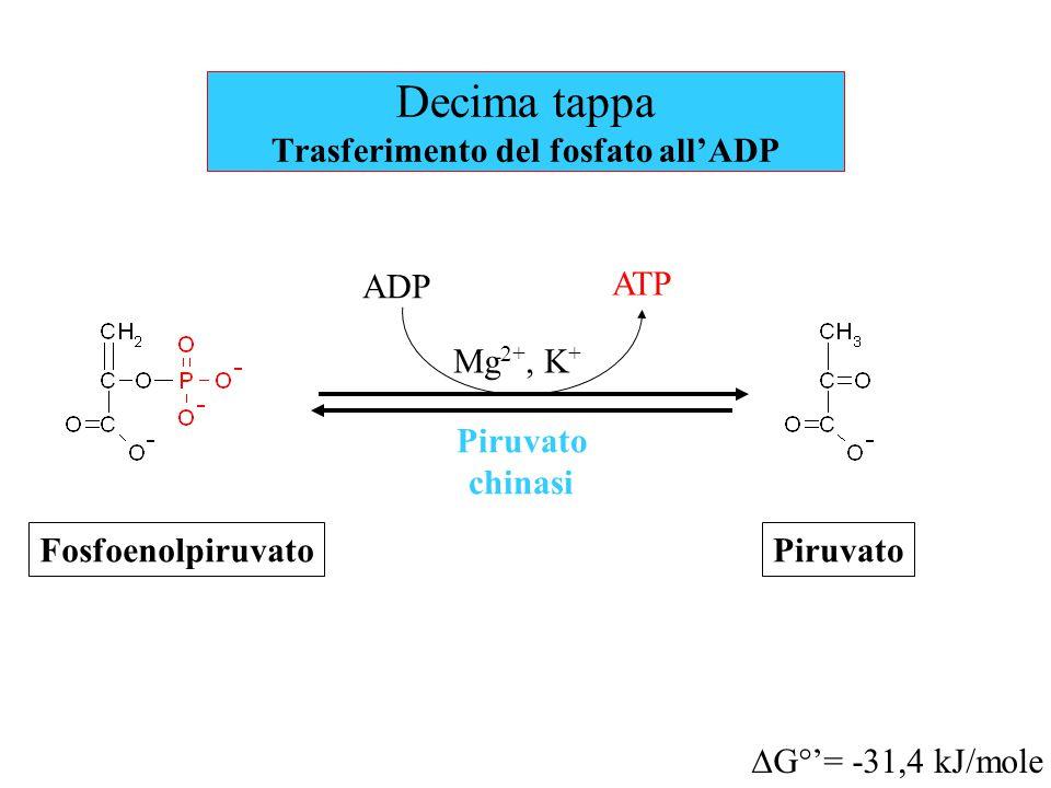 Decima tappa Trasferimento del fosfato all'ADP