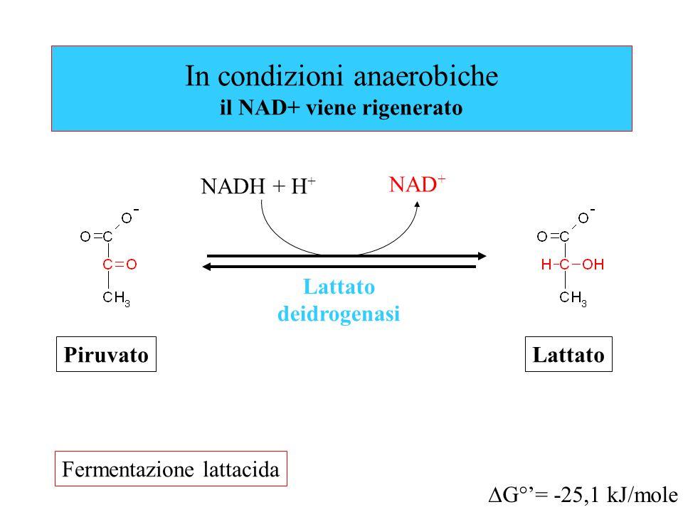 In condizioni anaerobiche il NAD+ viene rigenerato