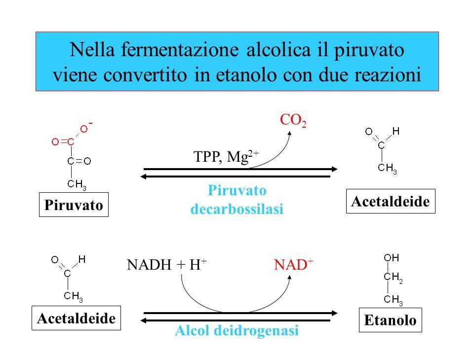 Nella fermentazione alcolica il piruvato viene convertito in etanolo con due reazioni