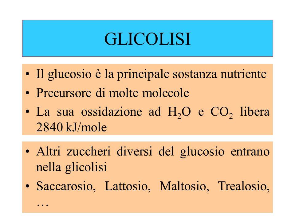 GLICOLISI Il glucosio è la principale sostanza nutriente