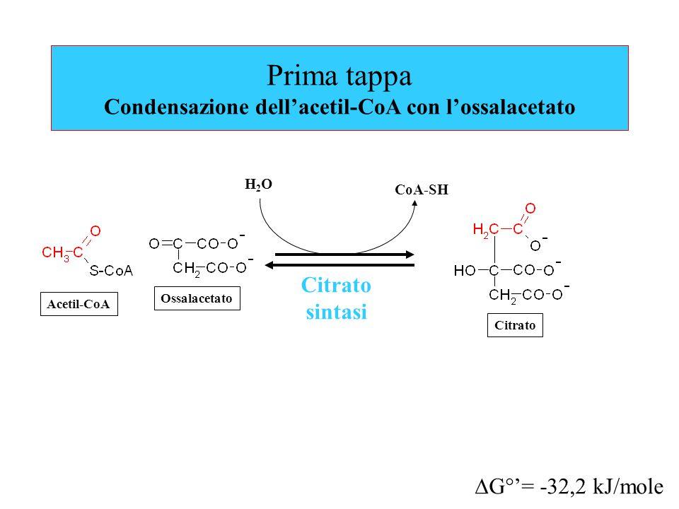 Prima tappa Condensazione dell'acetil-CoA con l'ossalacetato
