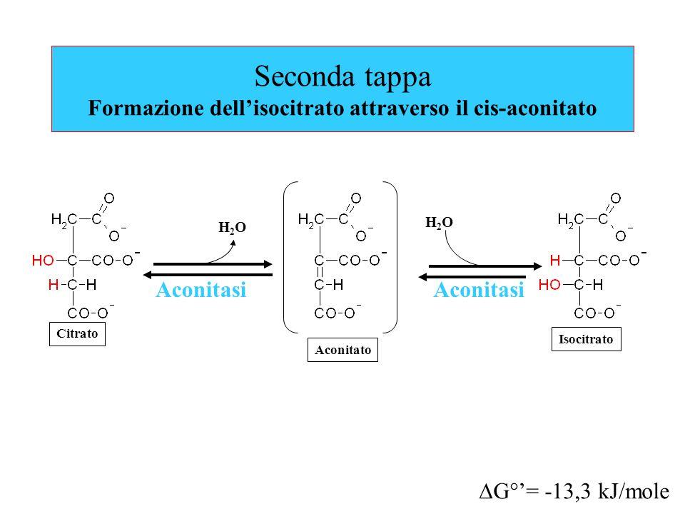 Seconda tappa Formazione dell'isocitrato attraverso il cis-aconitato