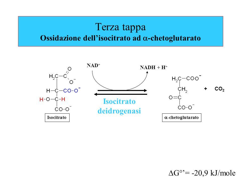 Terza tappa Ossidazione dell'isocitrato ad a-chetoglutarato