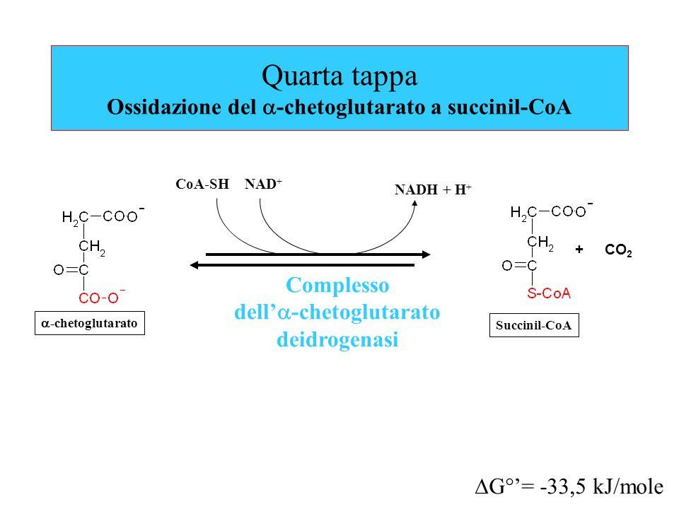 Quarta tappa Ossidazione del a-chetoglutarato a succinil-CoA