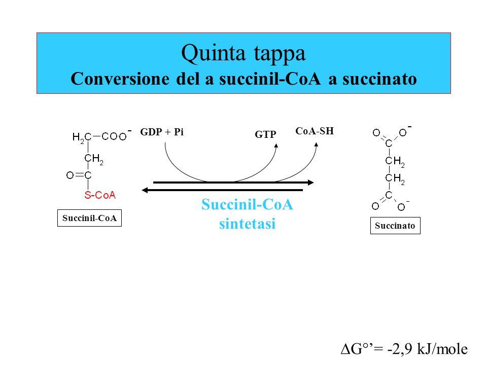 Quinta tappa Conversione del a succinil-CoA a succinato