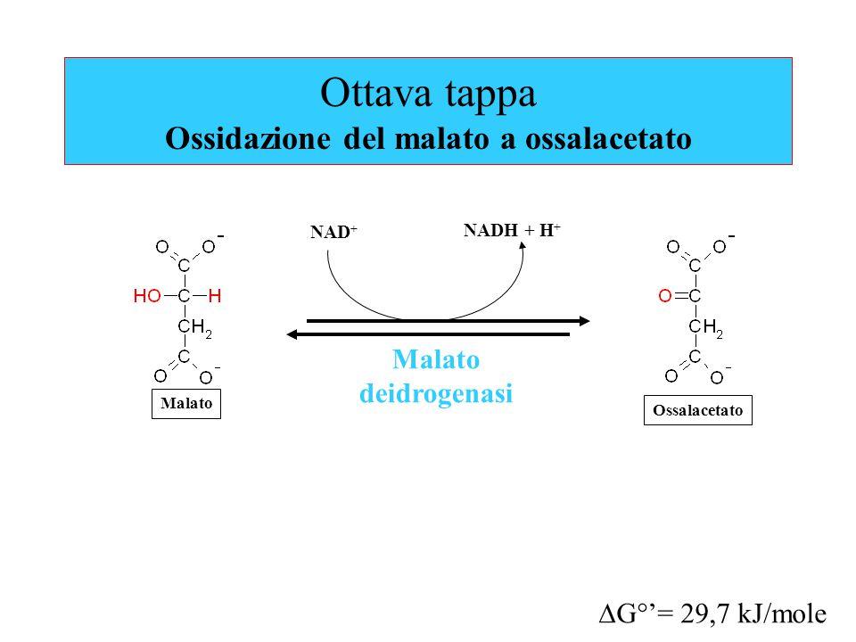 Ottava tappa Ossidazione del malato a ossalacetato