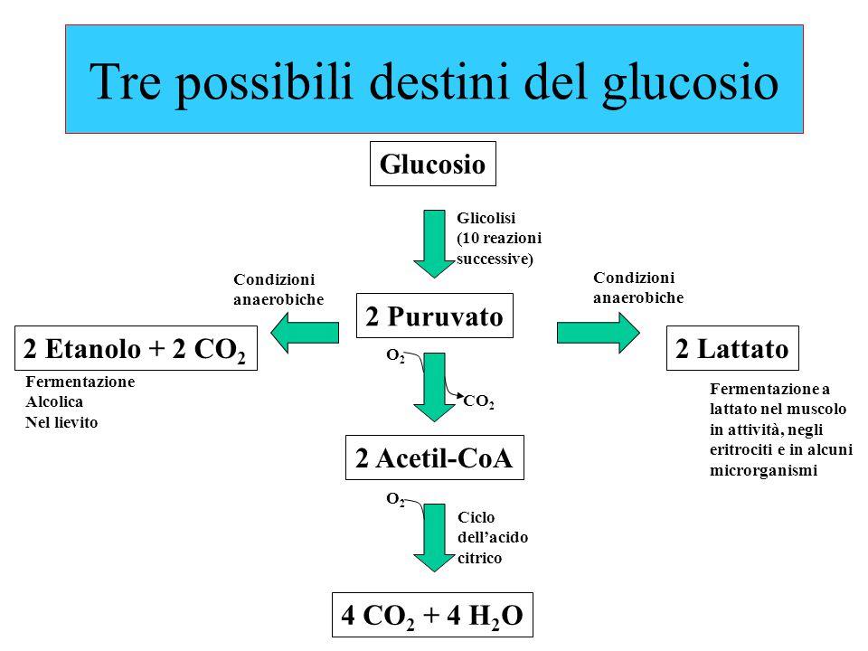 Tre possibili destini del glucosio