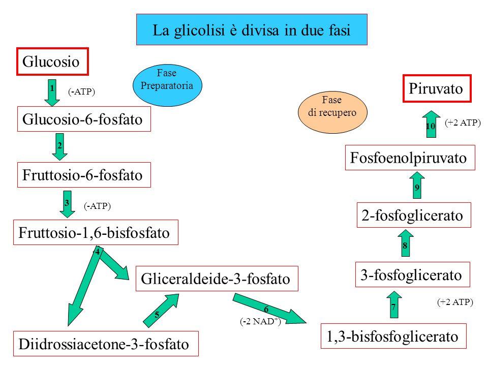 La glicolisi è divisa in due fasi