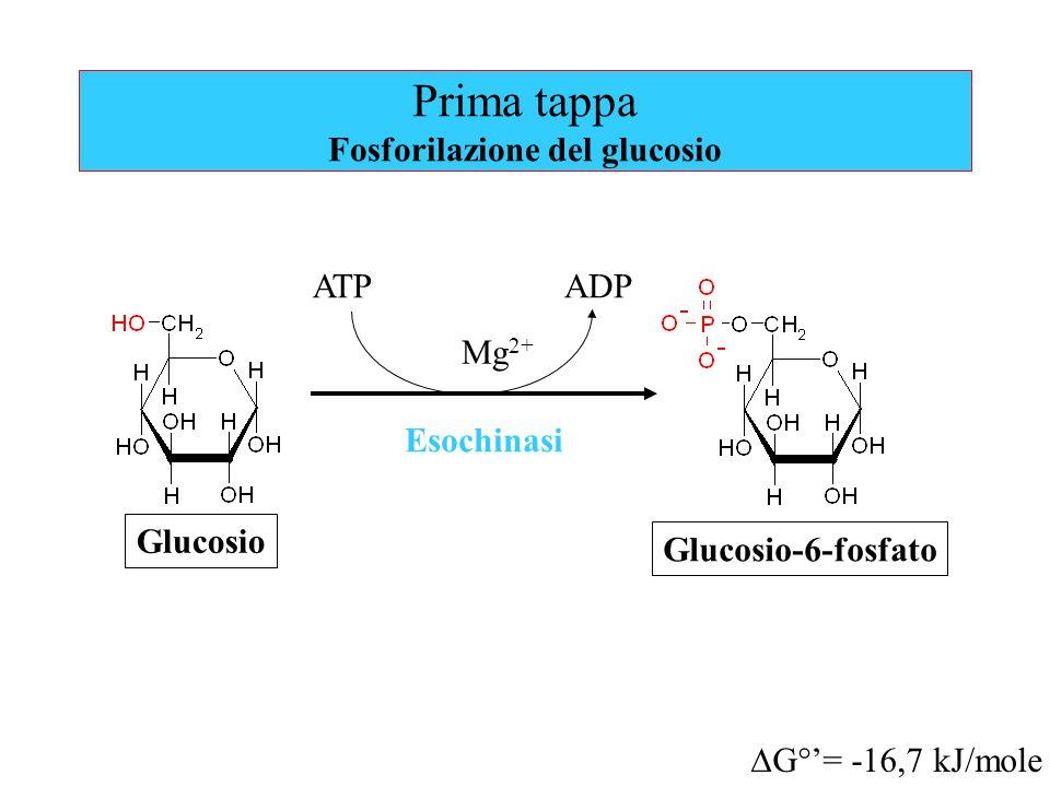 Prima tappa Fosforilazione del glucosio