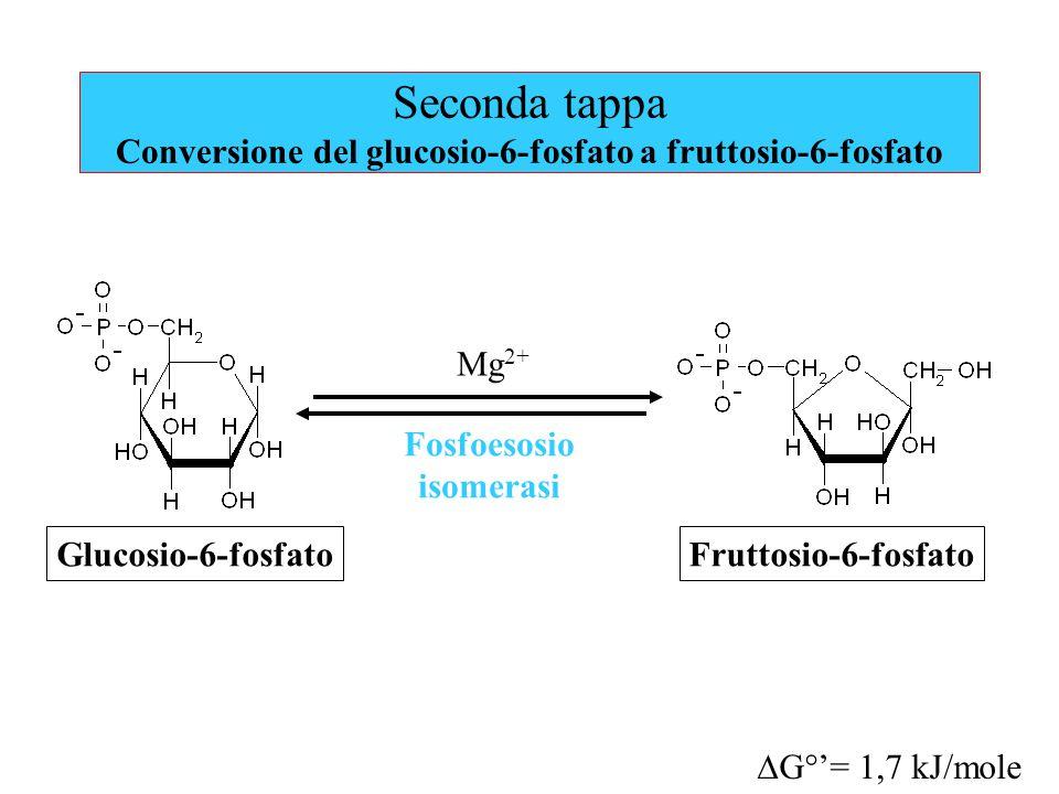 Seconda tappa Conversione del glucosio-6-fosfato a fruttosio-6-fosfato
