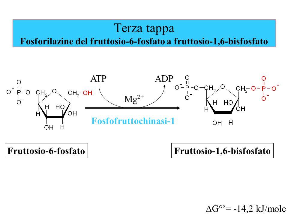 Fruttosio-1,6-bisfosfato