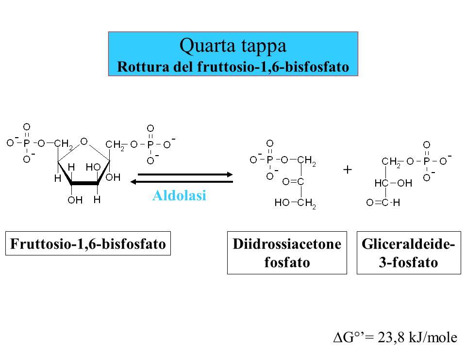Quarta tappa Rottura del fruttosio-1,6-bisfosfato