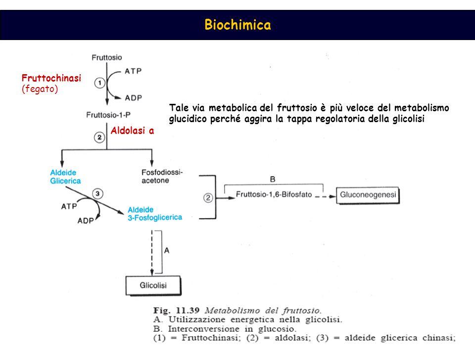 Fruttochinasi (fegato) Tale via metabolica del fruttosio è più veloce del metabolismo glucidico perché aggira la tappa regolatoria della glicolisi.