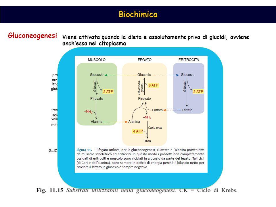 Gluconeogenesi Viene attivata quando la dieta e assolutamente priva di glucidi, avviene anch'essa nel citoplasma.
